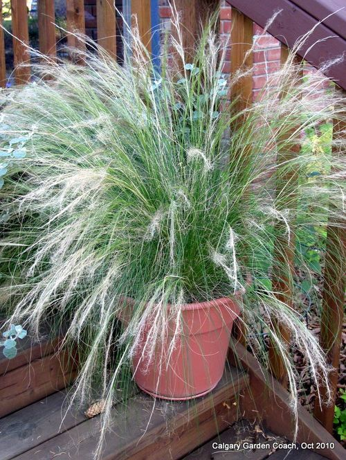 Ornamental grasses in pots google search deck pinterest ornamental grasses in pots google search workwithnaturefo