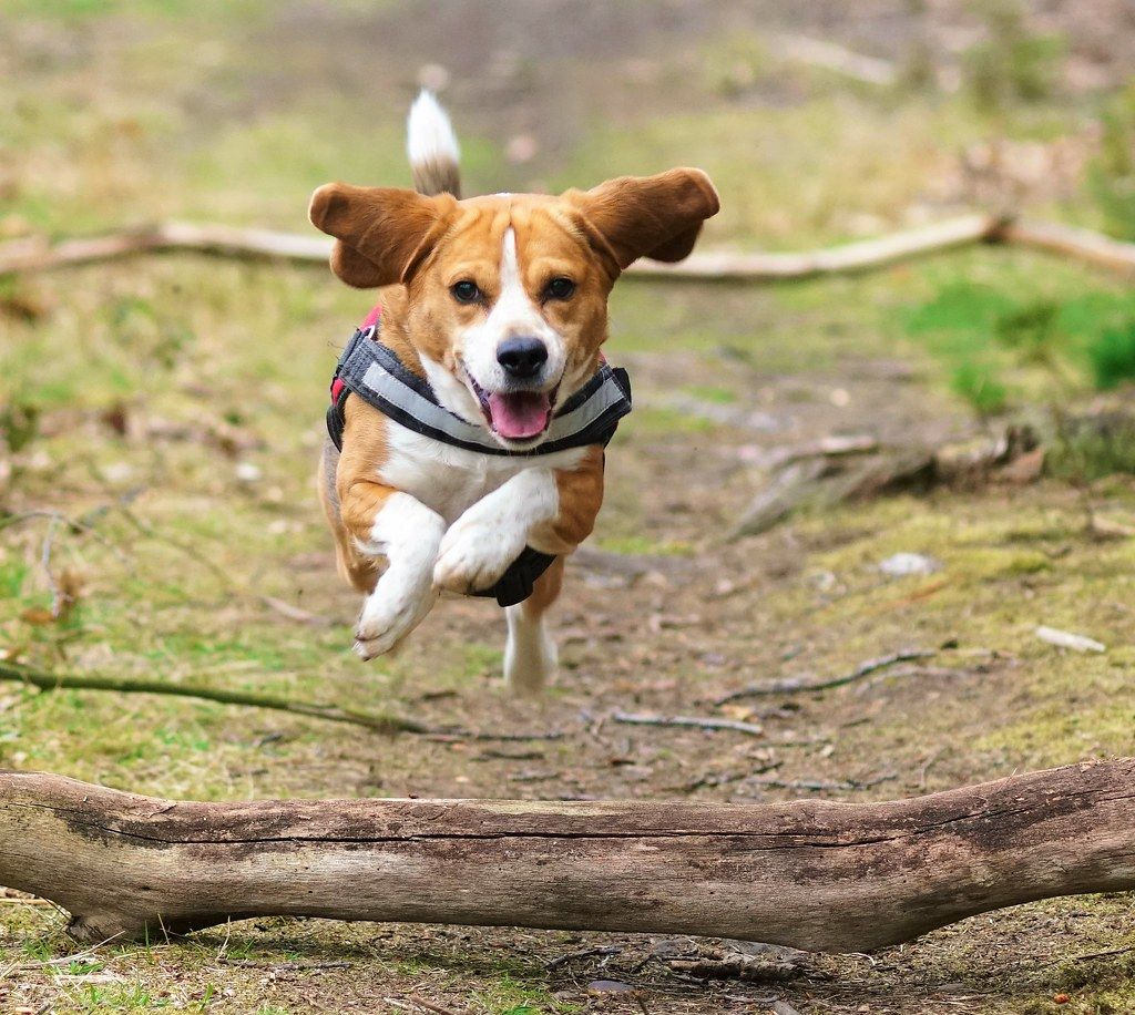Beagle Dog Beagle Dog For Sale Beagles For Sale Online Beagle
