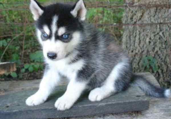 Wolf Hybrid Puppies Blue Eyes Yaoqunsz Images Gallery Wolf