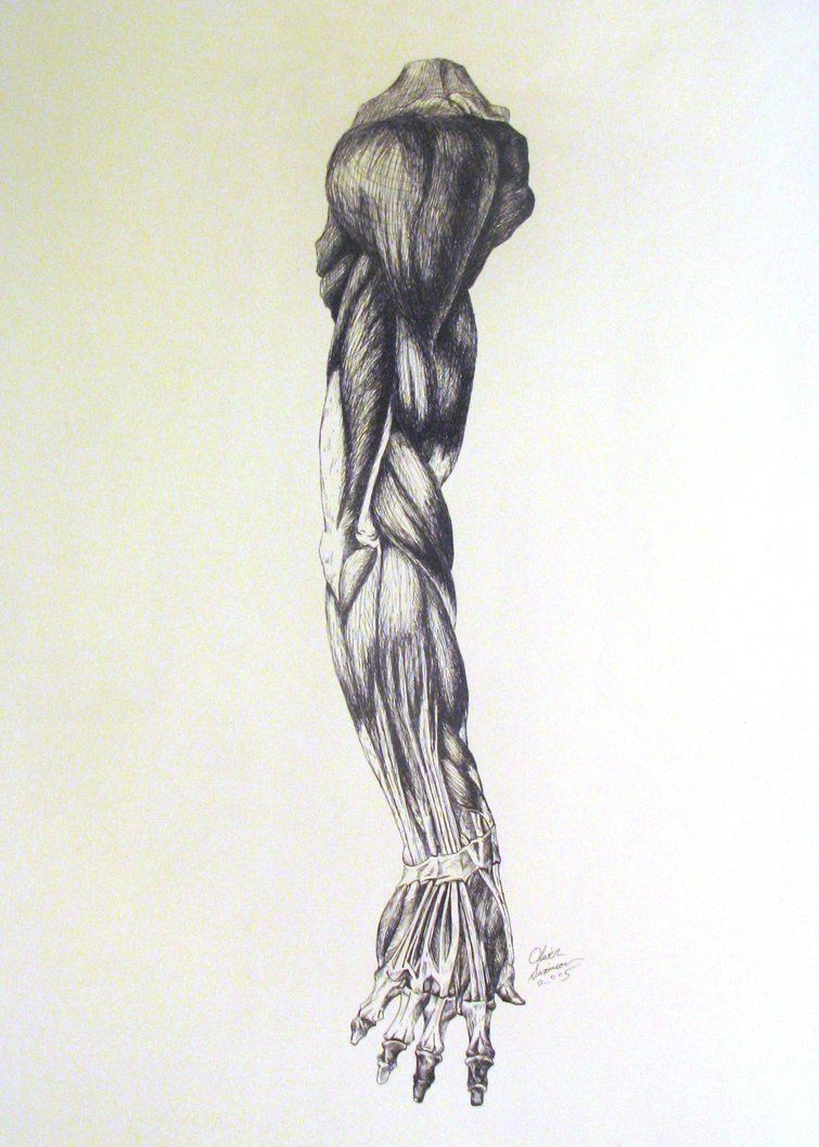 Anatomy Of An Arm By Revolver Studios On Deviantart Human Anatomy