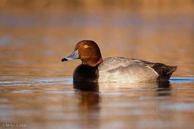 redhead duck call