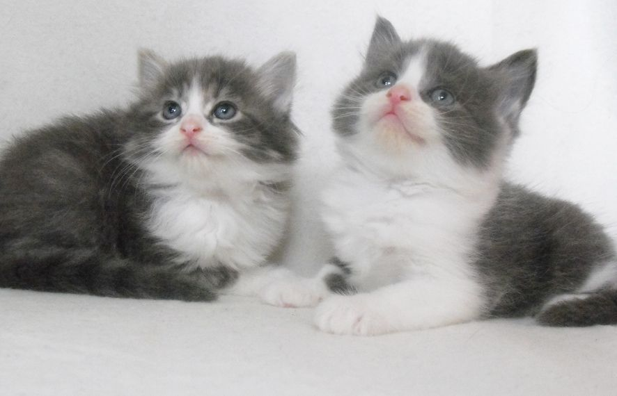 Beautiful Fluffy Grey And White Kittens 8Wks Old | Wolverhampton ... #fluffykittens