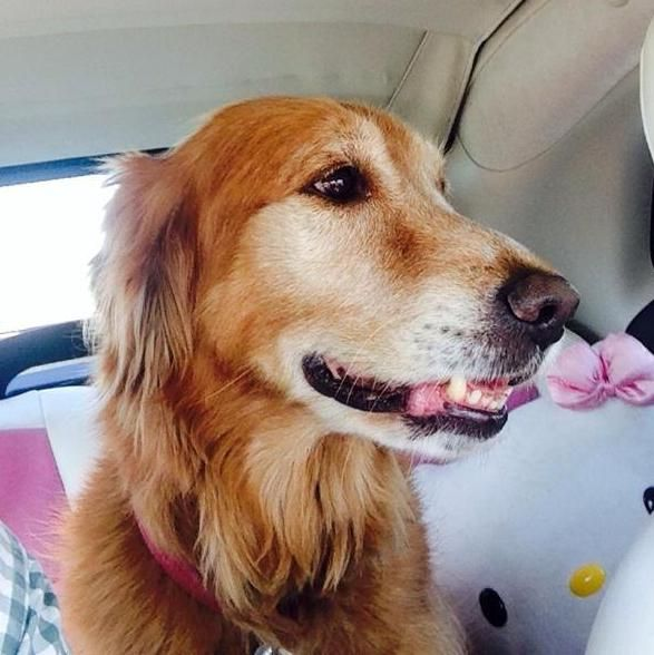 Meet A J A Petfinder Adoptable Golden Retriever Dog