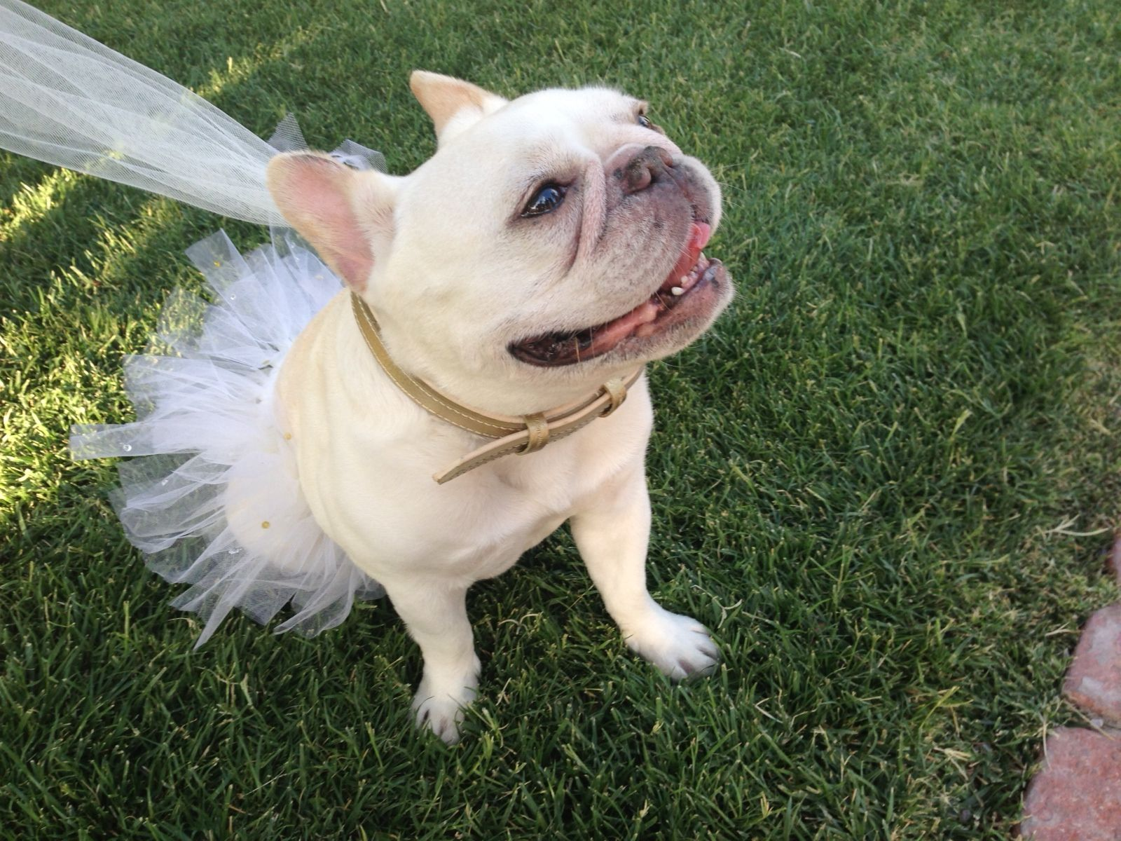 Frenchie flower girl: tulle leash and handmade doggy tutu