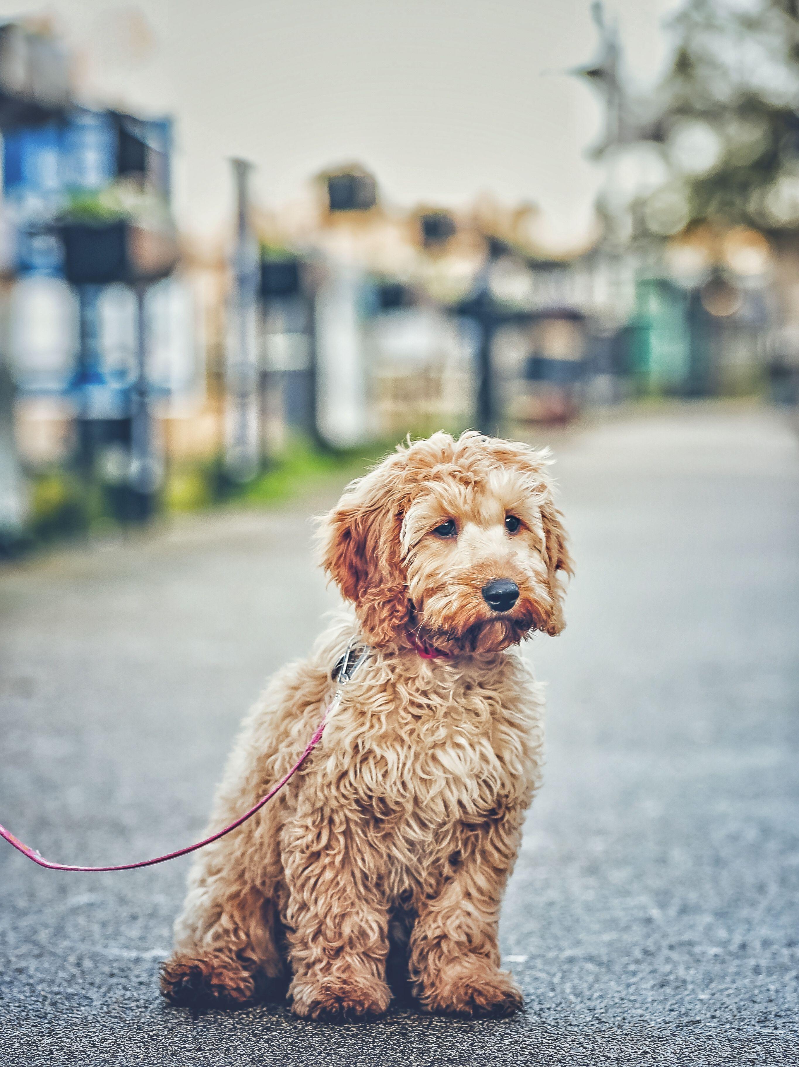 A cockapoo puppy cockapoo puppies pets dog photos