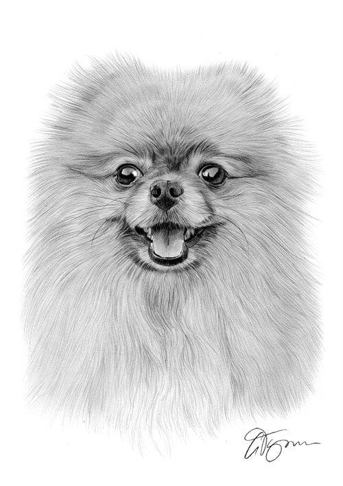 Young Pomeranian dog pencil drawing thumbnail   Mascotas en 2018 ...