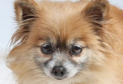 A Pomeranian This Is Fluffy Flora Who S Available For Adoption With National Mill Dog Rescue In Colorado Springs Co Save A Dog Rescue Dogs Pomeranian
