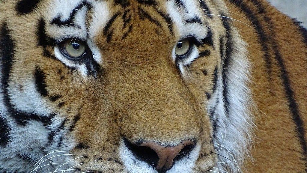 Tiger, very big cat, muzzle, eyes wallpaper Tiger