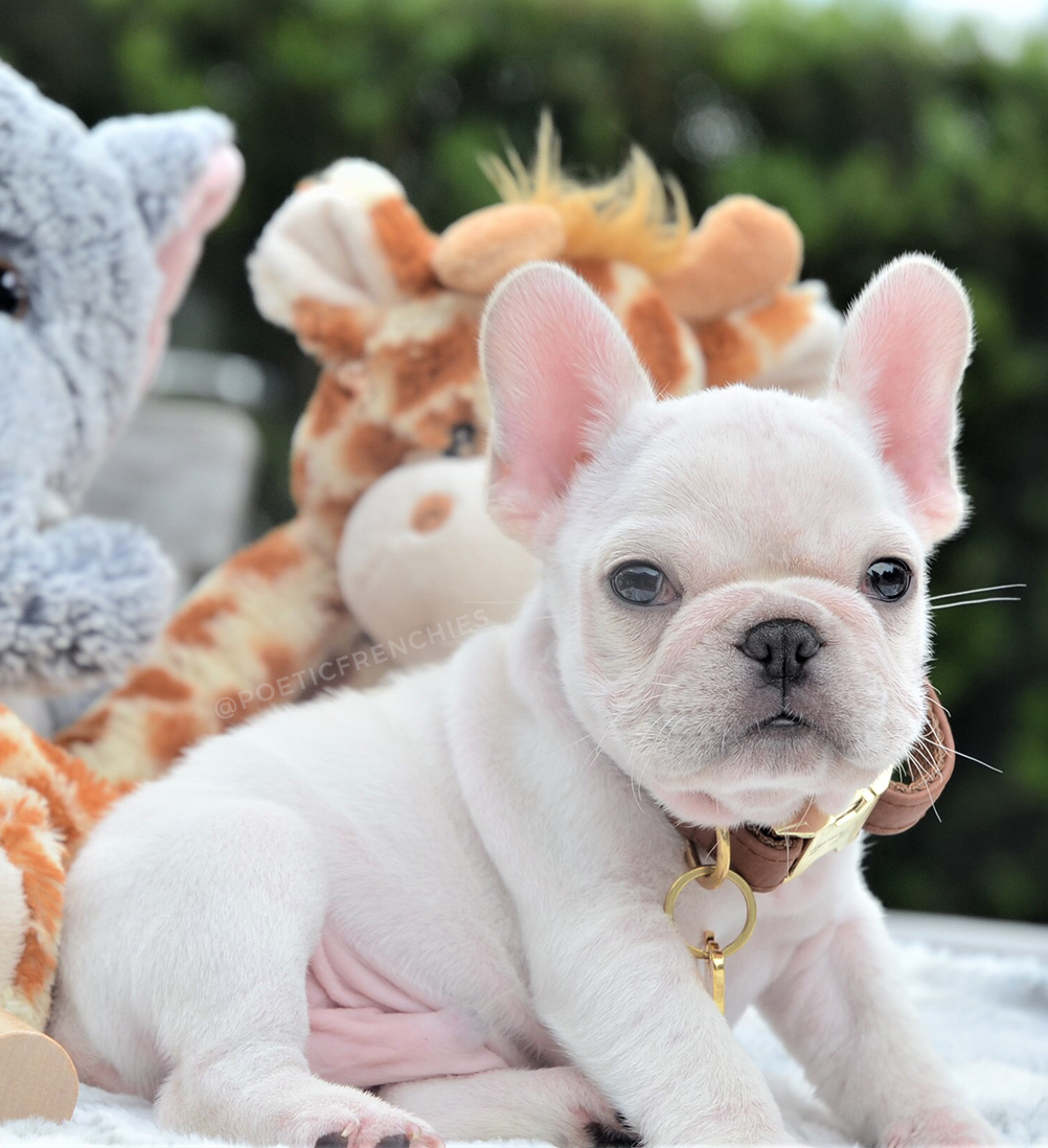 New Pics Of Jax Looking Like A Little Teddy Bear He Is Available Www Poeticfrenchbulldogs Com Frenc Bulldog Puppies French Bulldog Puppies Bulldog
