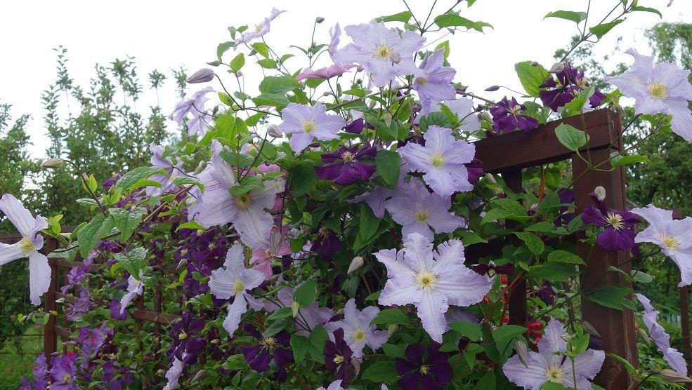 clematis blekitny aniol blue angel etoile violette. Black Bedroom Furniture Sets. Home Design Ideas