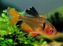 Long Finned Serpae Tetra Google Search Aquarium Fish Fish Tetra Fish