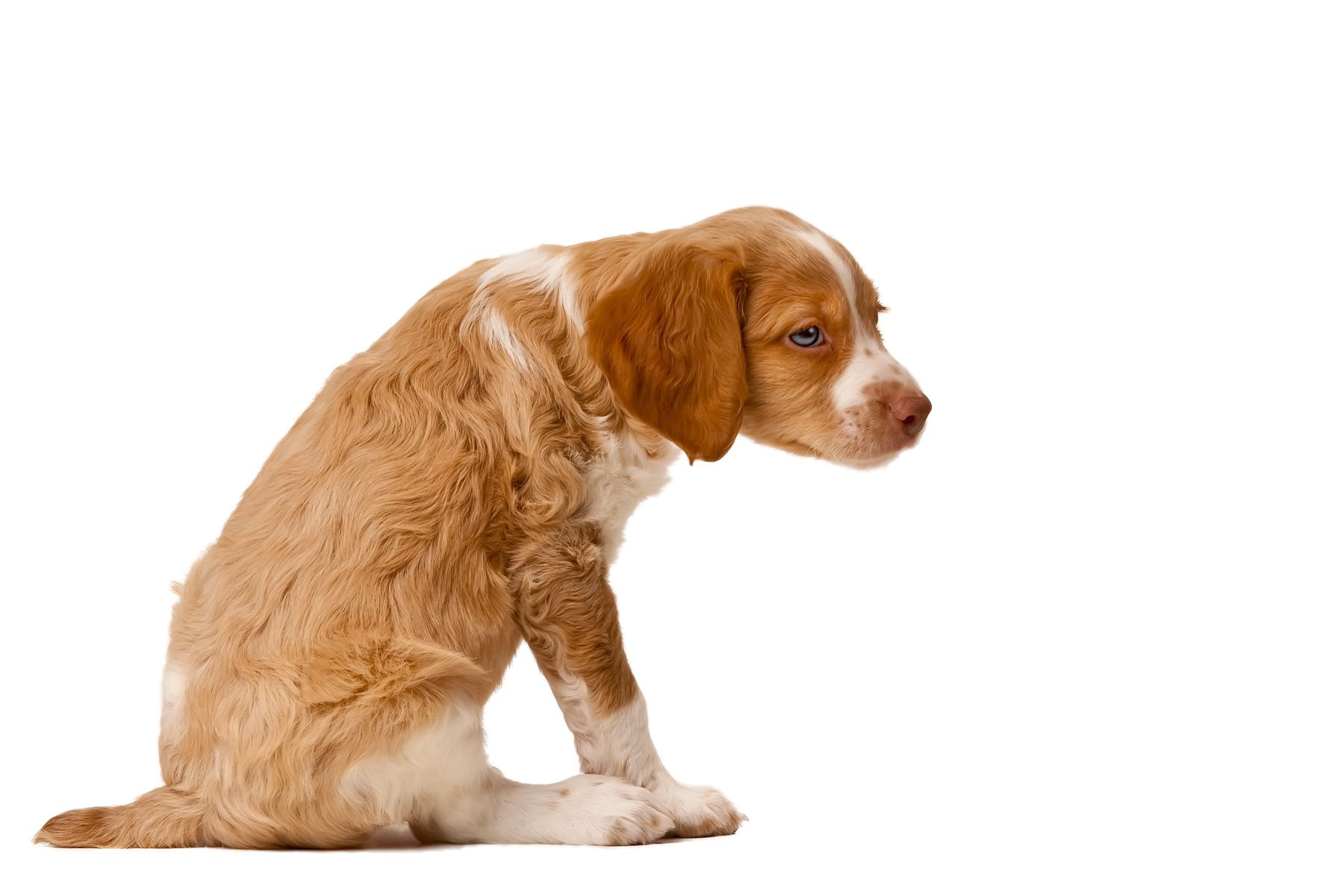 Brittany Spaniel Breed Info http//tipsfordogs.info