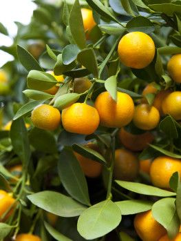Meyer Lemon Tree Online Arrive Alive Guarantee Free Shipping On All Orders Over 99 Immediate Delivery
