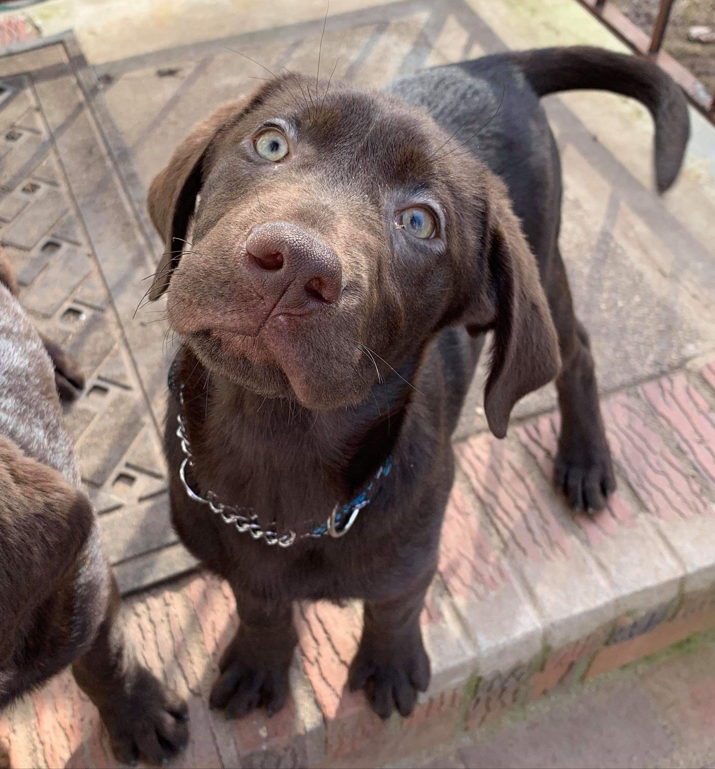 Adopt Mr Goodbar On Labrador Dog Cute Dogs Labrador Retriever Puppies