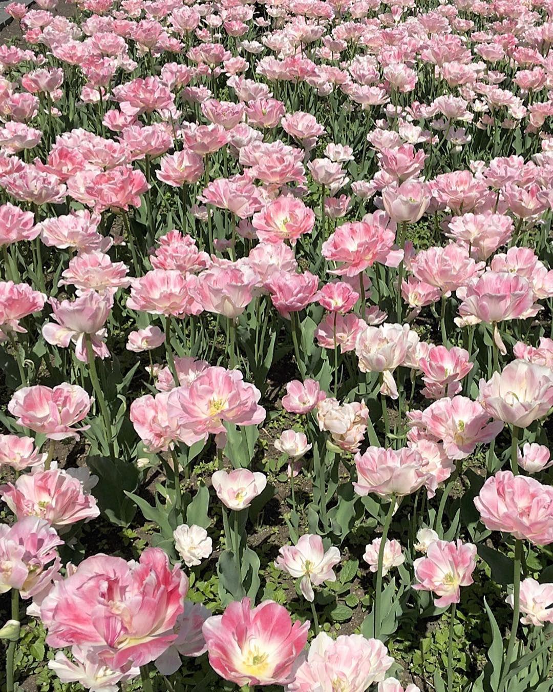 Tulip Fields Lovers Pin by Fyl Lan