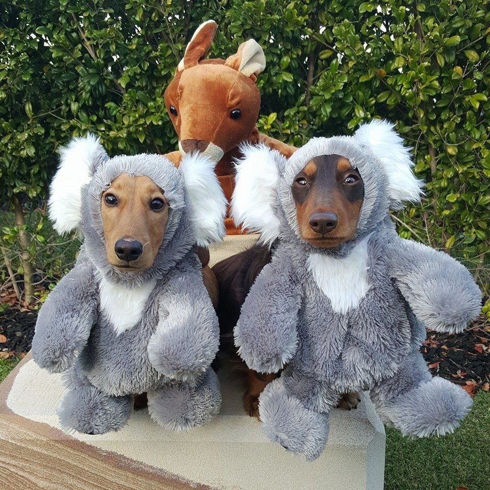 Dog Safety Tips For Australia Day Kangaroo Dog Dog Safety Dog
