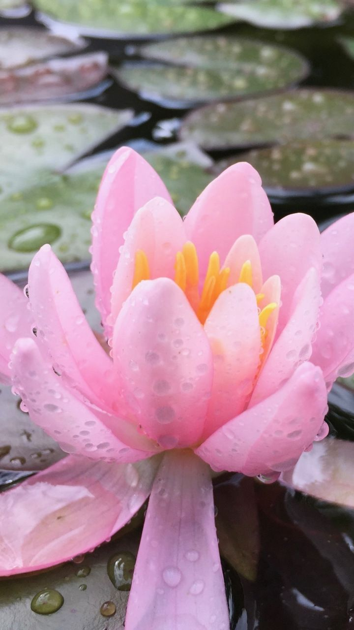 water drops, lake, lotus, pink flower, 720x1280 wallpaper | flowers