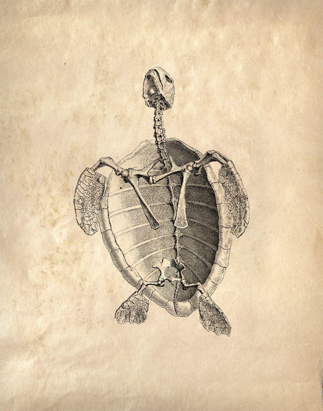 Pin de Alda A. en Huesos | Pinterest | Tortugas, Huesos y Animales