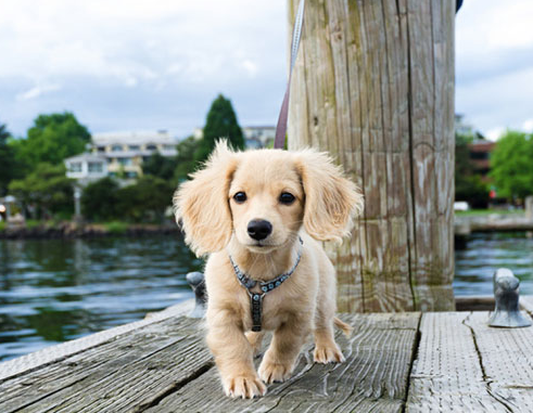 Bambi The Blonde Long Haired Dachshund Dachshund Breed Dachshund Puppy Long Haired Long Haired Dachshund