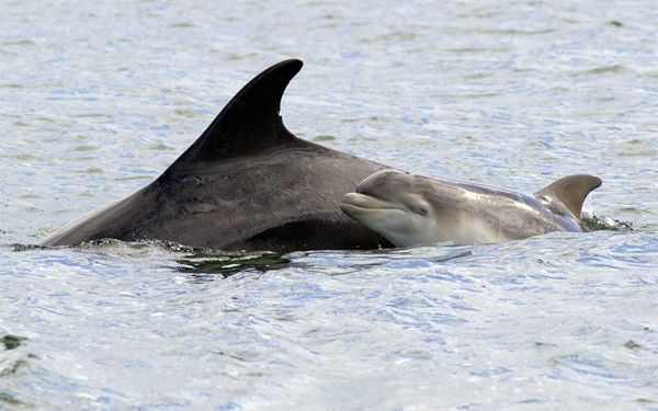 image of baby dolphin swimming next to its mother