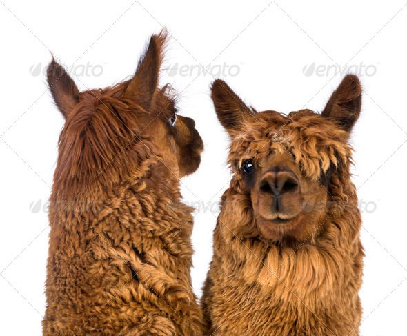 Closeup of Two Alpacas one is looking back by Lifeonwhite Closeup of Two Alpacas one is looking back and the other is looking at camera against white background