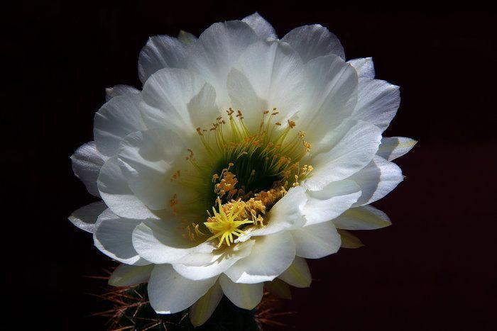 Moonflower by joel rivera on capture my arizona regardless of climbers mightylinksfo