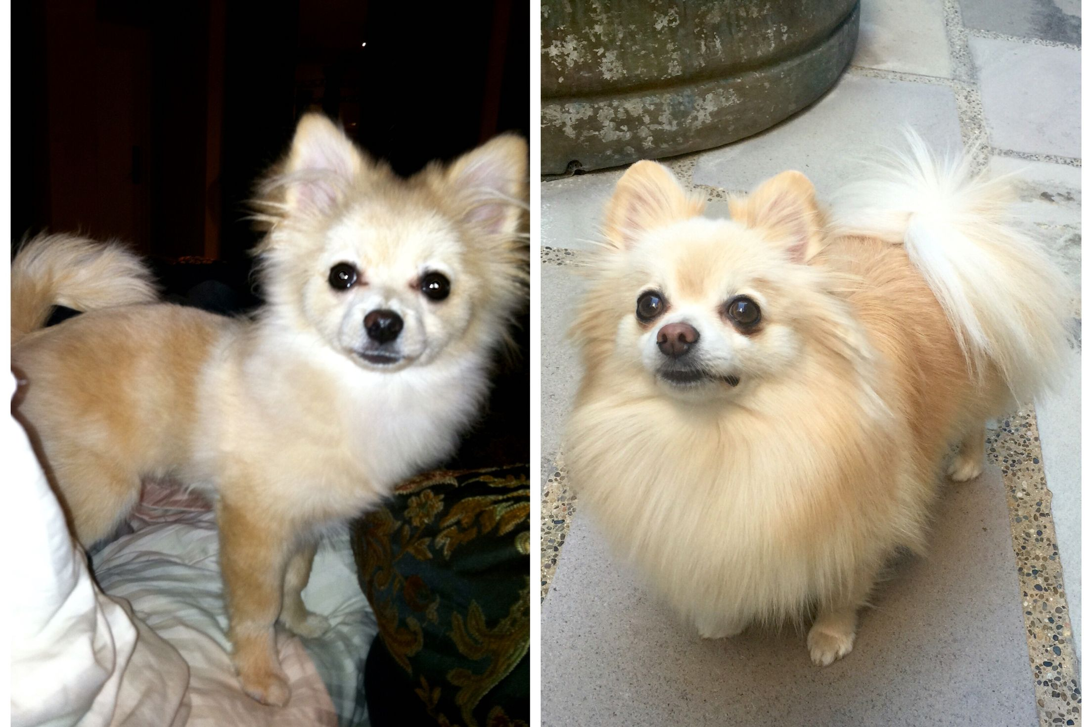pomeranian puppy uglies pomeranian uglies before and after our little guy is 785