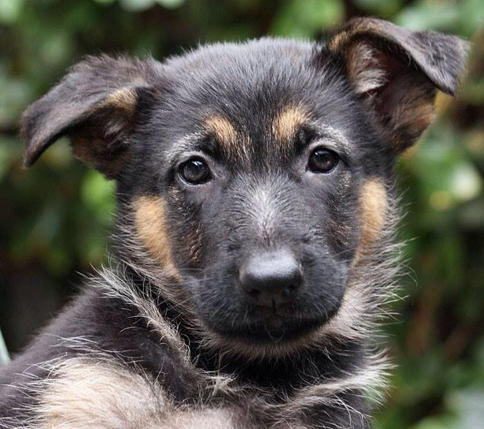 Frieda Von Fendi Is A 7 Week Old German Shepherd Puppy Www