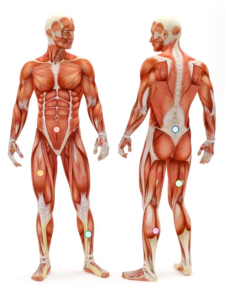 Image Result For Torso Muscles Antamony Pinterest Anatomy