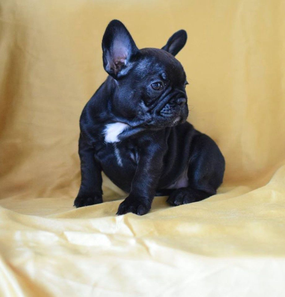 Go For Mini French Bulldog Puppies For Sale And Breeders In Your