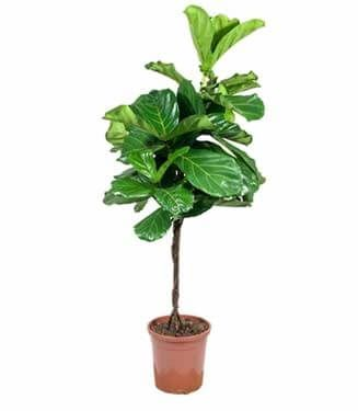 Tropical House Plants ficus lyrata | exotic tropical houseplants for the plantaholic in