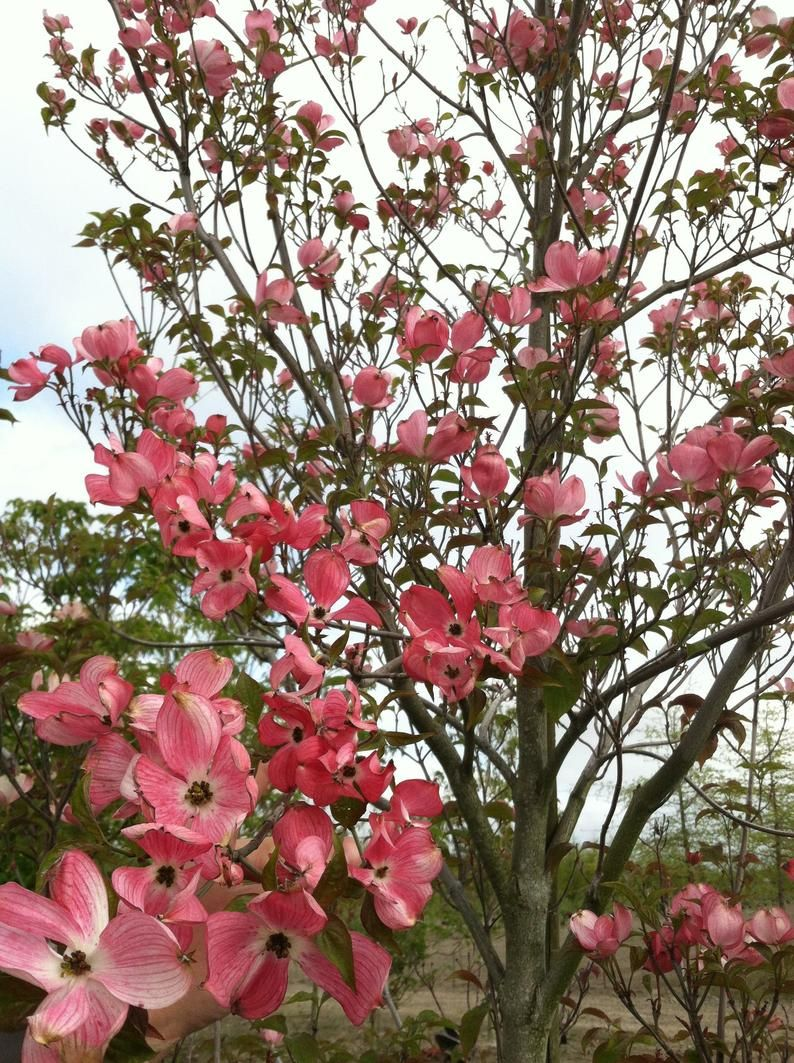 Cherokee Brave Dogwood 1 Gallon Potted Plant, Pink