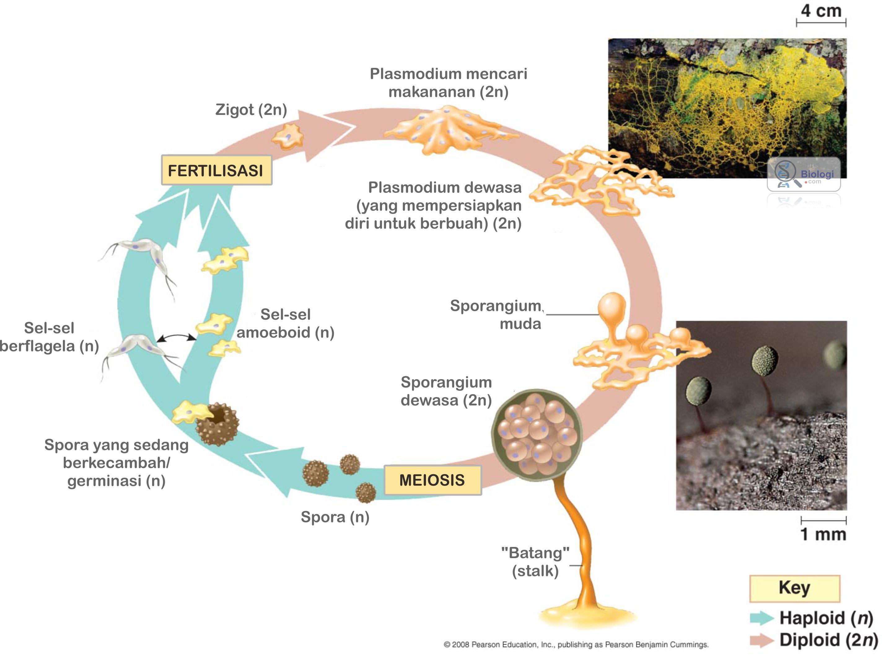 Gambar Siklus hidup jamur lendir Myxomycota  termasuk
