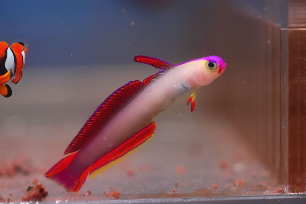 Firefish Goby Purple Goby Fish Fish Pet Tropical Fish