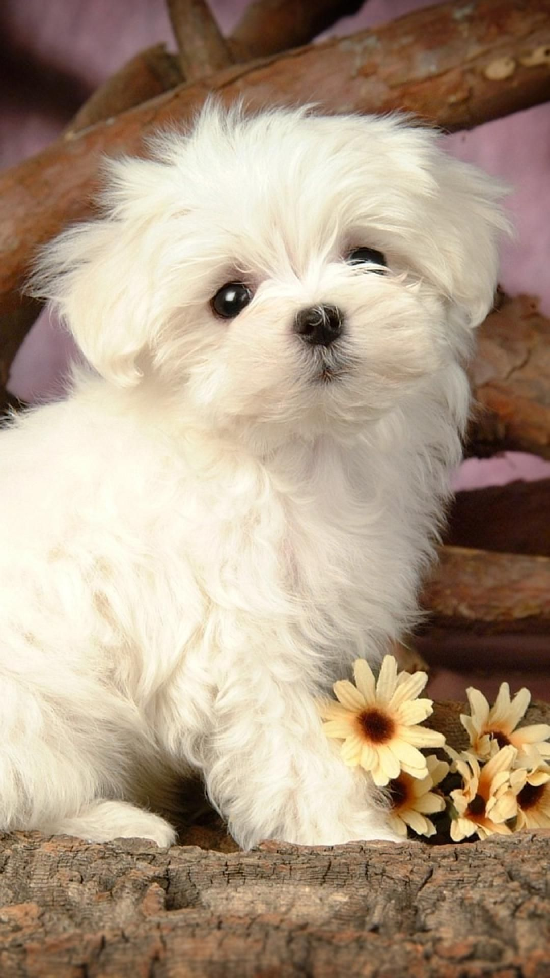 Maltese Puppy Wallpaper Hd Wallpapers Animales Perros