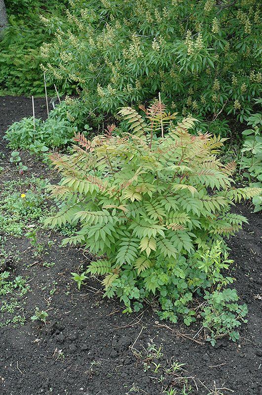 Sem False Spirea Sorbaria Sorbifolia Sem At Gertens Landscape Design Plants Front Landscaping