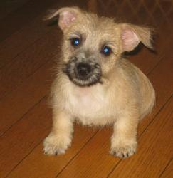 Luigi Is An Adoptable Cairn Terrier Dog In Kent Oh Luigi Is A