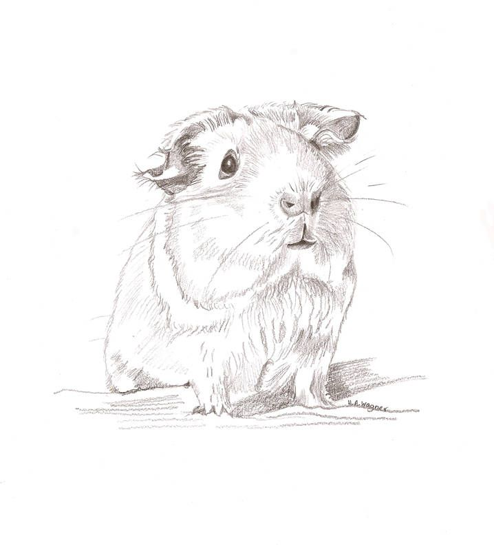 Guinea Pig Cute Realistic Pencil Drawingpet Artanimal Art