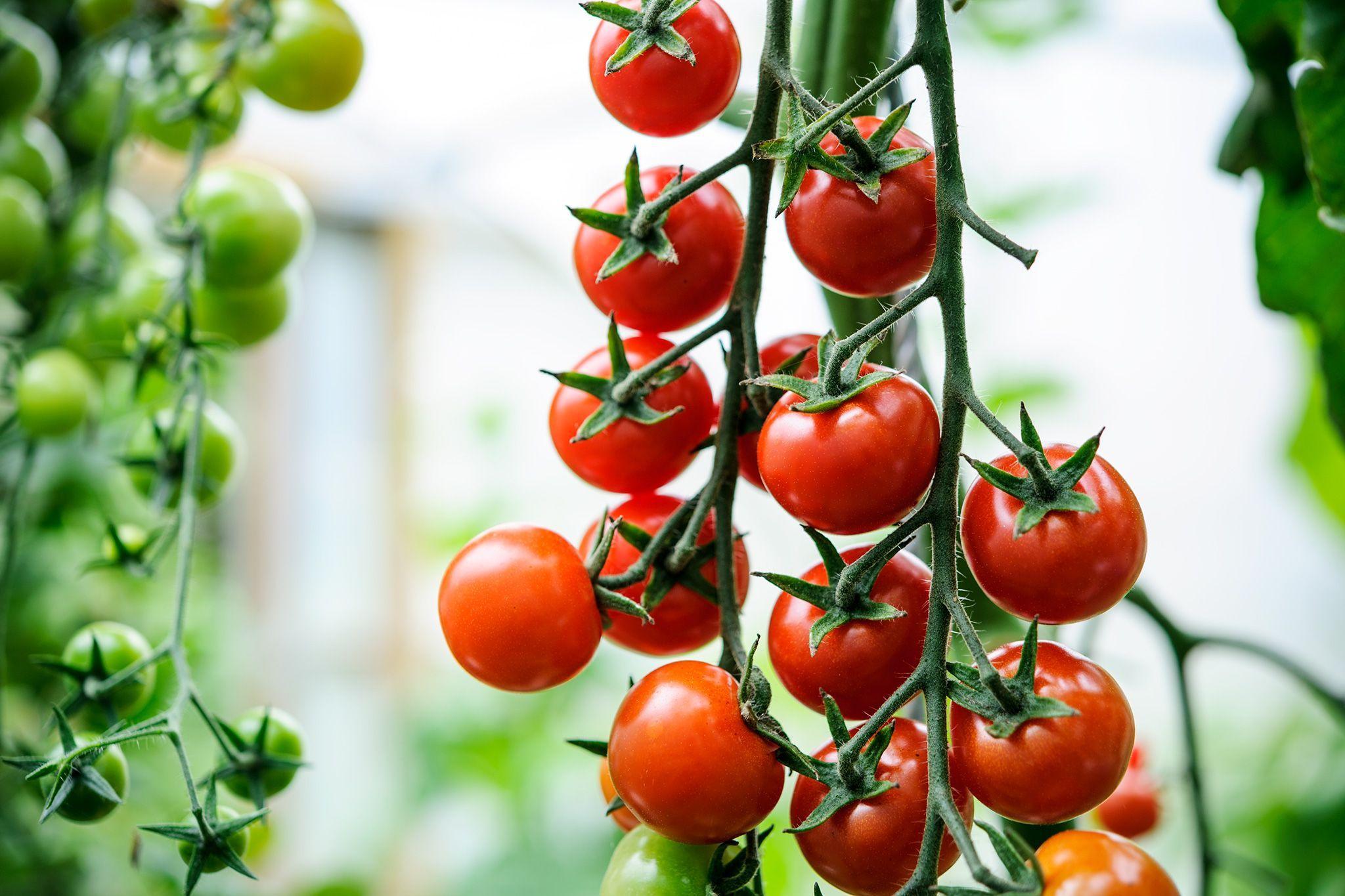 7ca8f4749d24c6b94d4efa24af479ea7 - Gardeners World Magazine Free Tomato Seeds