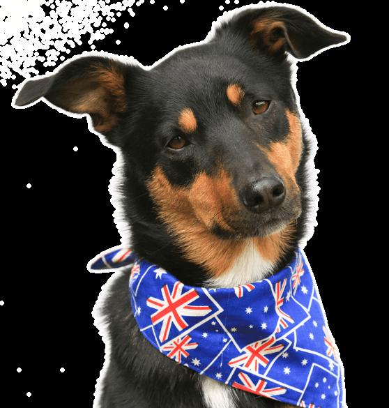 Australian Shepherd Puppies For Sale Adoptapet Com In 2020 Australian Kelpie Puppies For Sale Australian Shepherd Puppies