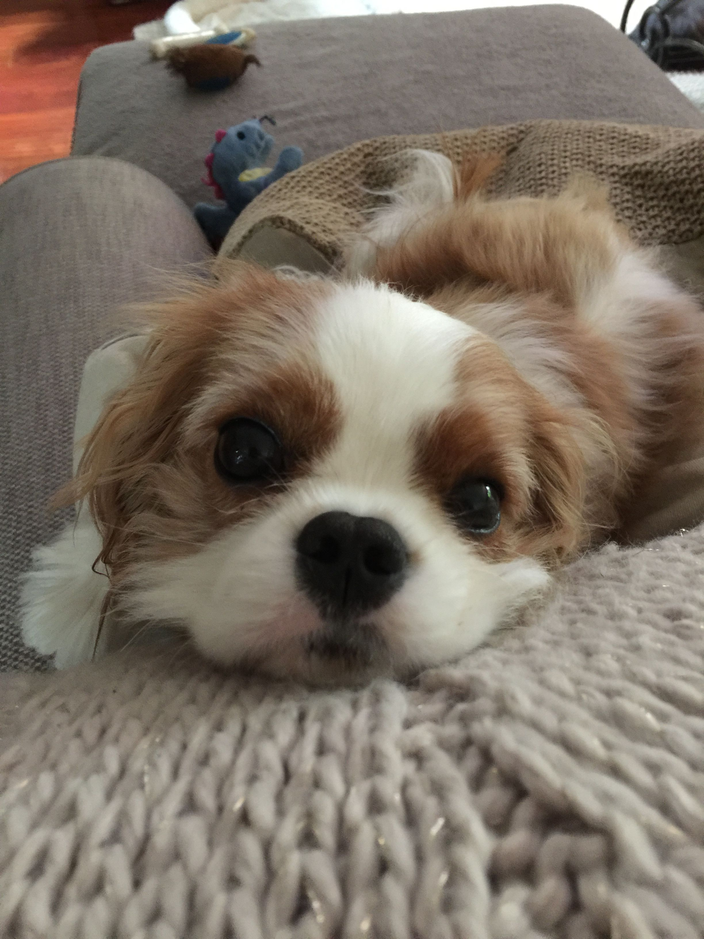 The look of love for a Cavalier King Charles Spaniel pup King Charles Puppy c6711d4ad3