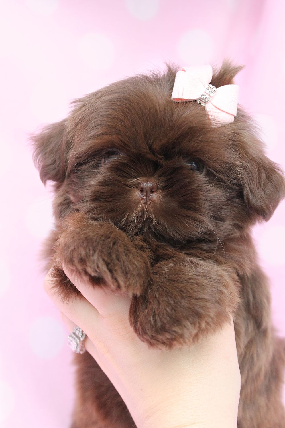 Pin By Stacy Austin On Cute Pet S Shih Tzu Puppies Shitzu Puppies