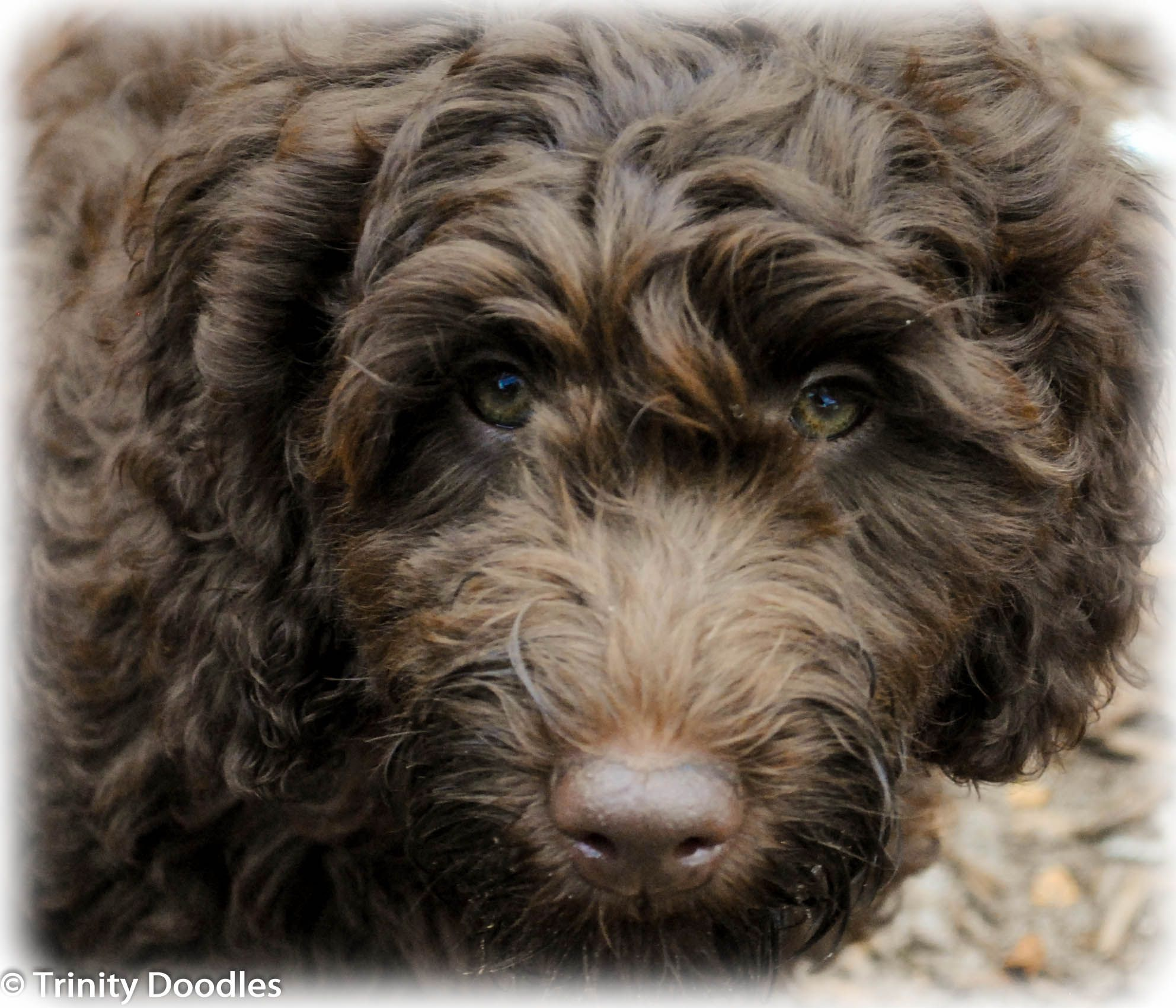 Oh so sweet Chocolate Australian Labradoodle Puppy Girl