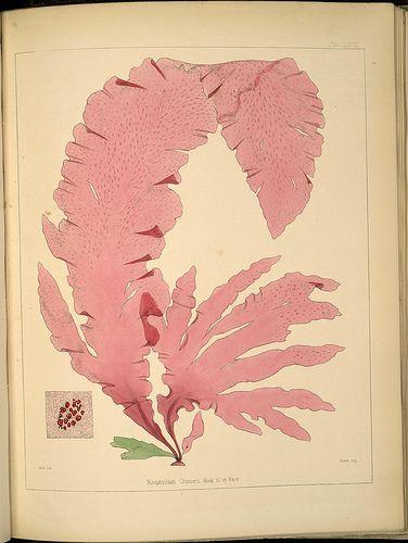 Joseph Dalton Hooker, Antarctic botany species: Nitophyllum crozieri, 1847