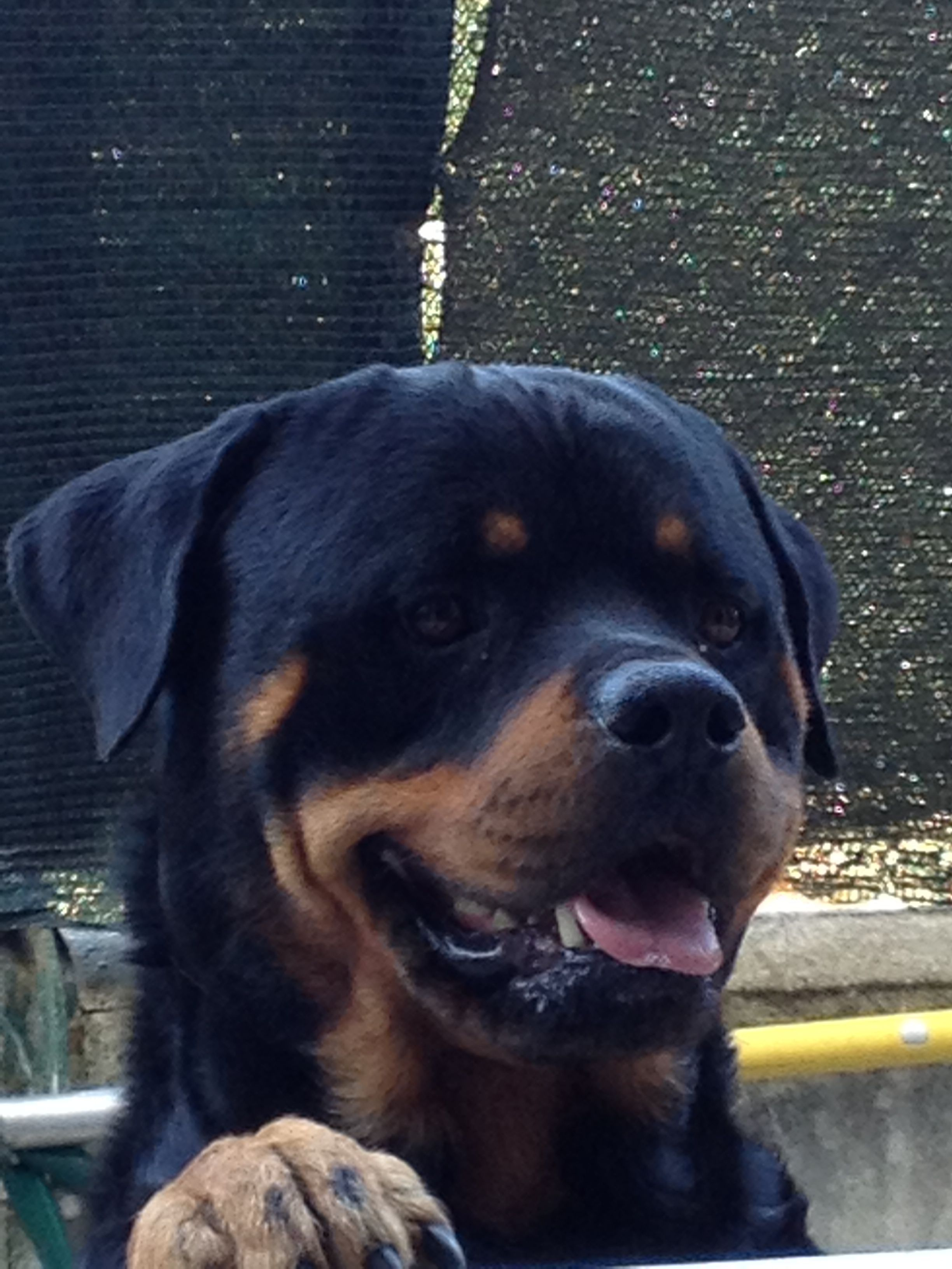 Rottie Rotties 3 Pinterest Rottweilers Rottweiler And Dog