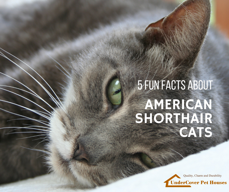 5 Fun Facts About American Shorthair Cats Common cat