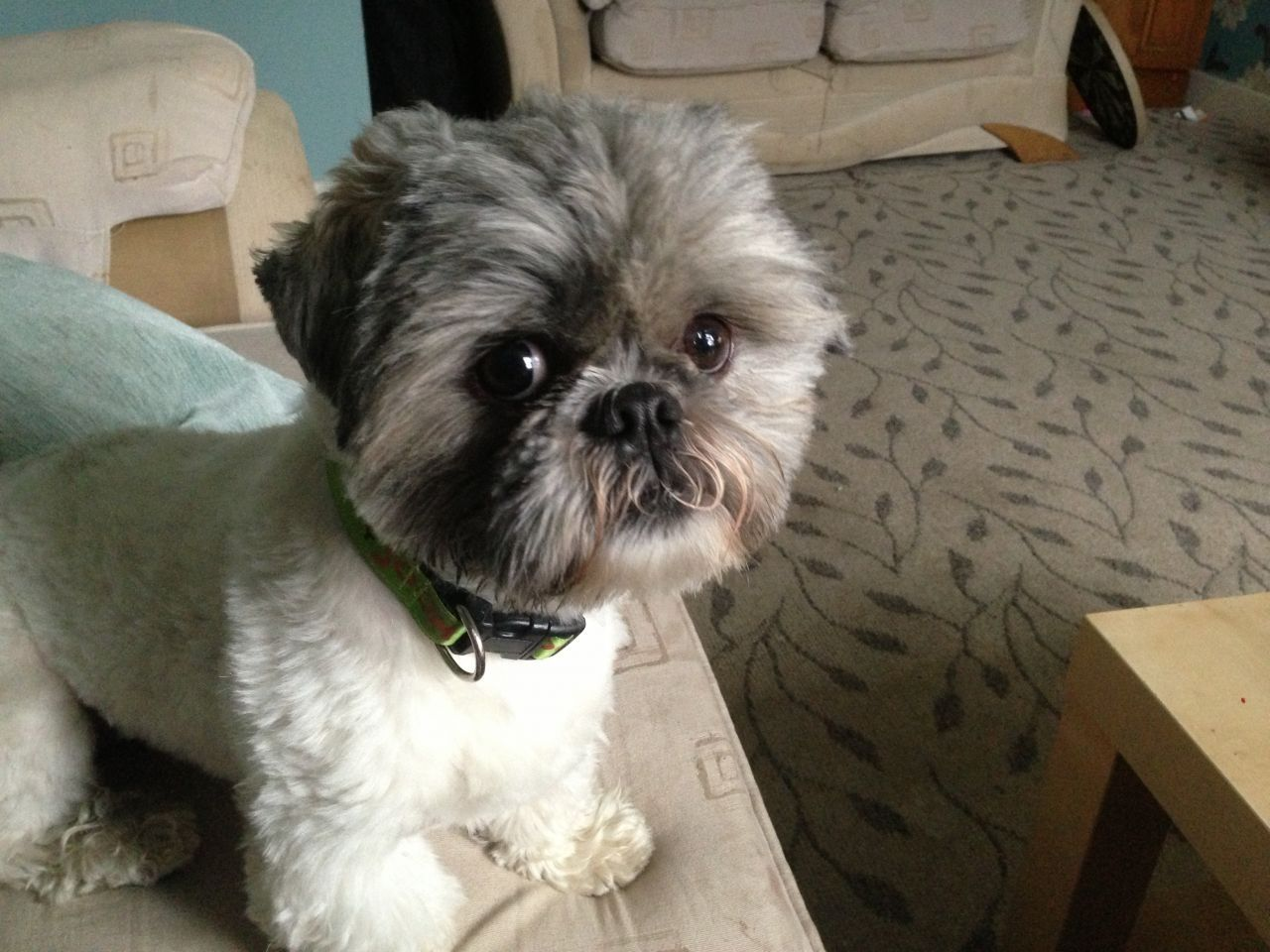 Cute Shih Tzu Puppies Male Cute Shih Tzu Haircuts Cute Shih