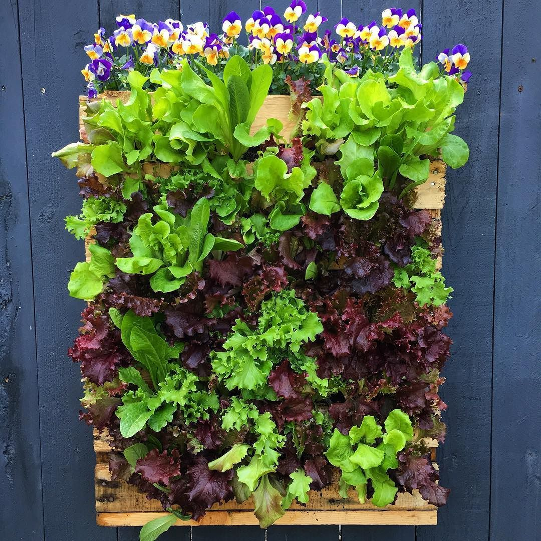 Here's what my pallet planter looks like 15 days after planting! Full & beautiful! Check out the update video on our YouTube channel! #grow #more #food #veggies #diy #pallet #planter #loveit #delicious #groworganic #organic #lettuce #viola #project #fun #excited #mygarden #garden #gardens #gardening #gardenlovers #growsomethinggreen #urbanorganicgardener #instagood #instalike #nofilter #yummy #youtube #video #vsco