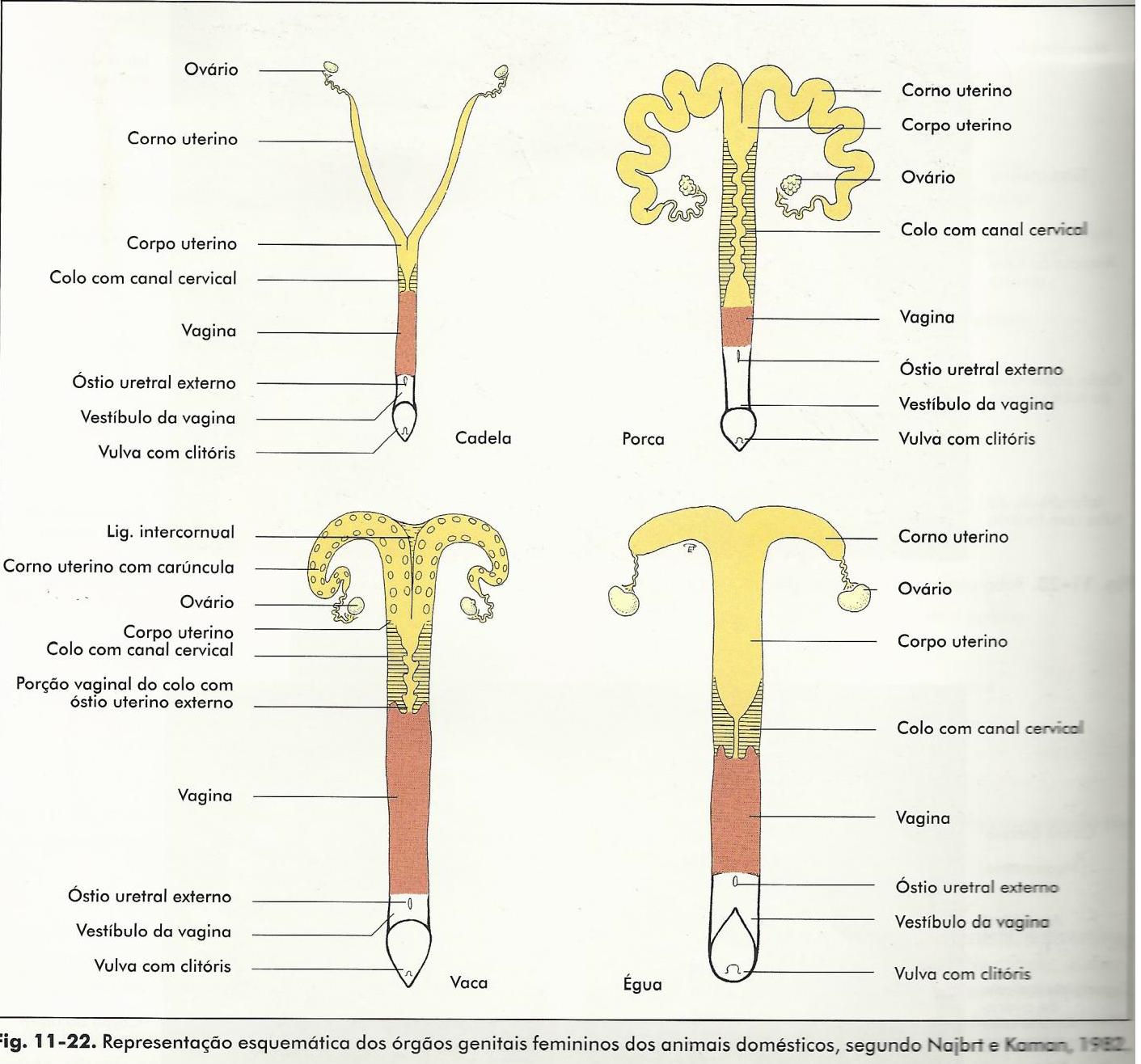 Image result for utero vaca | anatomia | Pinterest | Anatomía