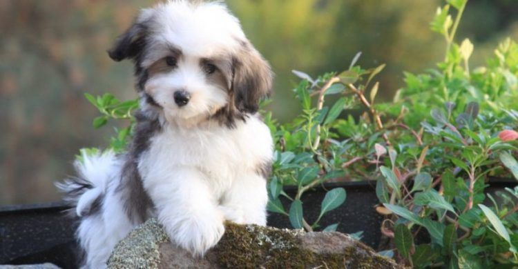 Seven Important Tips for Taking Care of Havanese Puppies